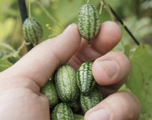 How-To-Grow-Cucamelons