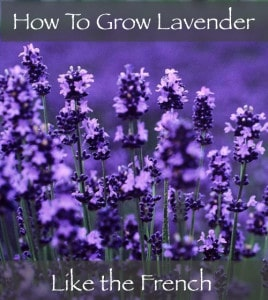 How To Grow Lavender Like The French