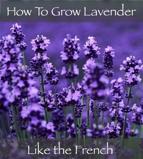 How-To-Grow-Lavender-Like-The-French