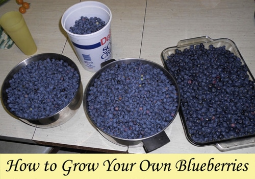 How-To-Grow-Your-Own-Blueberries