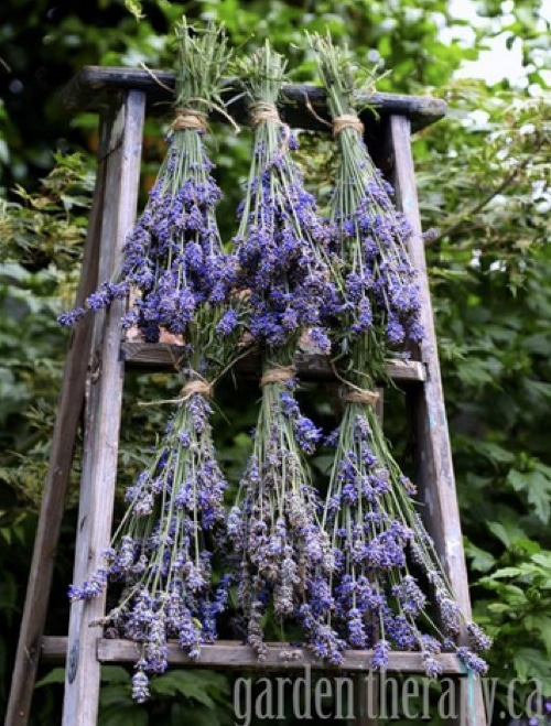 How To Harvest & Use Lavender