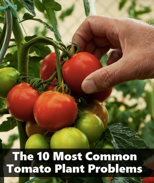 The 10 Most Common Tomato Plant Problems