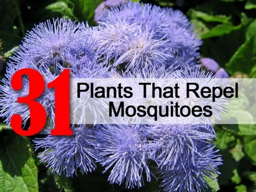 31-Plants-That-Repel-Mosquitoes
