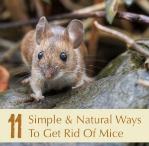 11 Simple And Natural Ways To Get Rid Of Mice