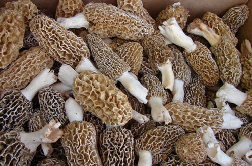 A-Beginners-Guide-To-Hunting-Morel-Mushrooms