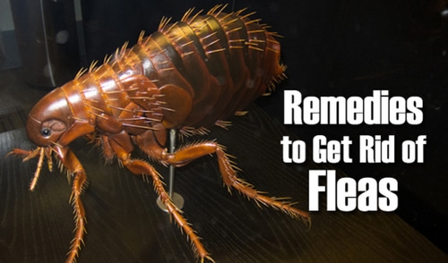 Home-Remedies-For-A-Flea-Infestation