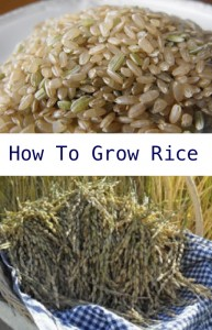 How To Grow Rice In Your Garden