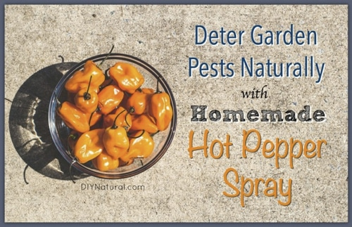 How To Make Hot Pepper Spray For Organic Pest Control