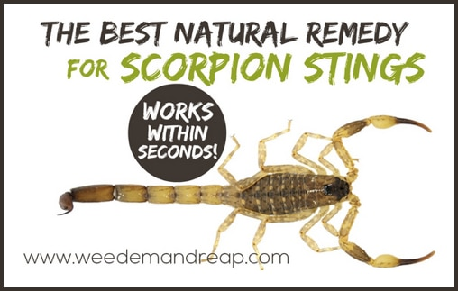 The Best Natural Remedy For Scorpion Stings