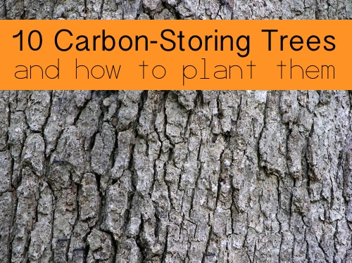 10-Carbon-Storing-Trees-And-How-To-Plant-Them