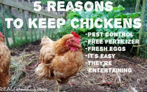 5 Reasons To Keep Chickens In Your Yard
