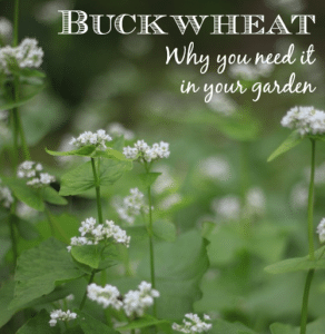 9 Reasons Buckwheat Belongs In Your Garden