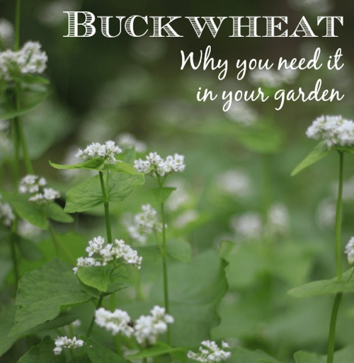 9-Reasons-Buckwheat-Belongs-In-Your-Garden