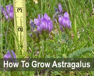 How To Grow Astragalus