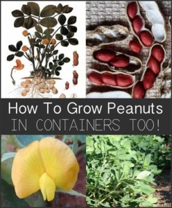 How To Grow Peanuts (In Containers Too!)