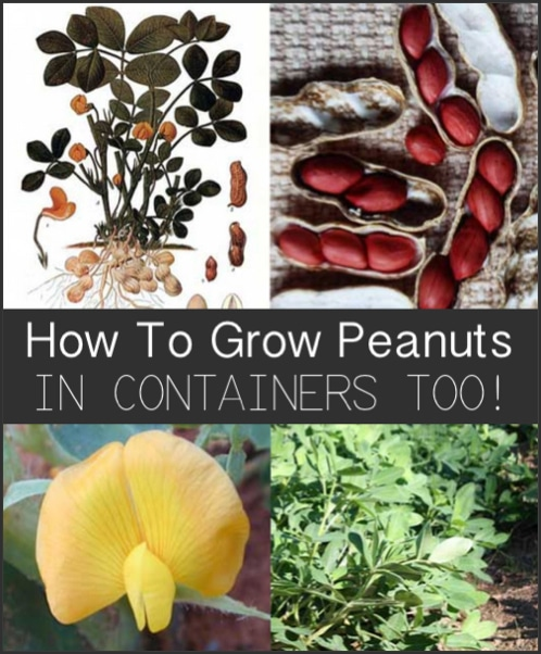 How-To-Grow-Peanuts-In-Containers-Too
