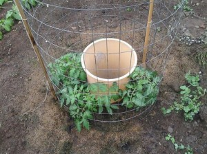 One Man's Genius Way Of Growing Tomatoes