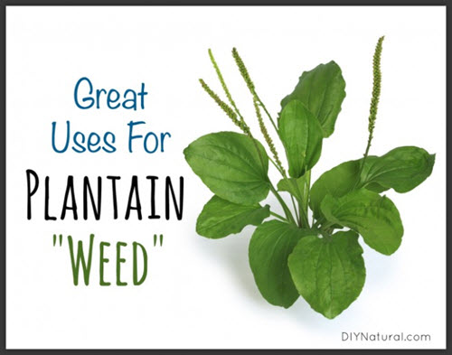 Using-Plantain-Weed-For-Skin-Irritations--And-Even-Food