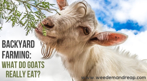 What-Do-Goats-Really-Eat
