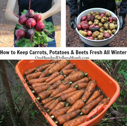 How-To-Keep-Carrots-Potatoes-And-Beets-Fresh-All-Winter