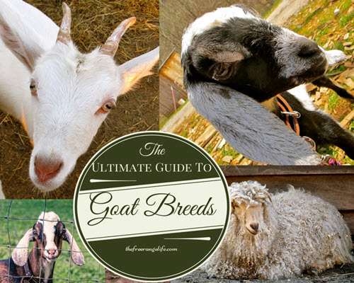 The-Ultimate-Guide-To-Goat-Breeds