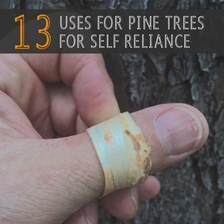 13 Uses For Pine Trees For Self-Reliance
