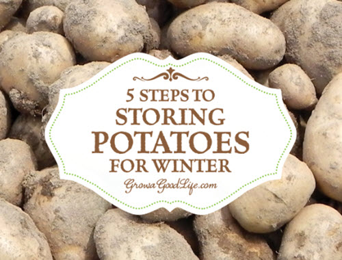 5-Steps-To-Storing-Potatoes-For-Winter