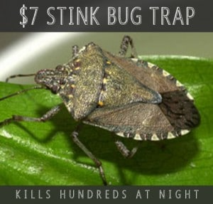 DIY Stink Bug Trap That Catches 100s Of Stink Bugs At Night For $7