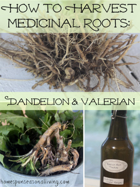 How-To-Harvest-Medicinal-Roots-Dandelion-And-Valerian