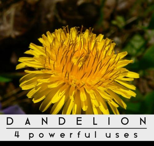 Dandelions-4-Powerful-Uses