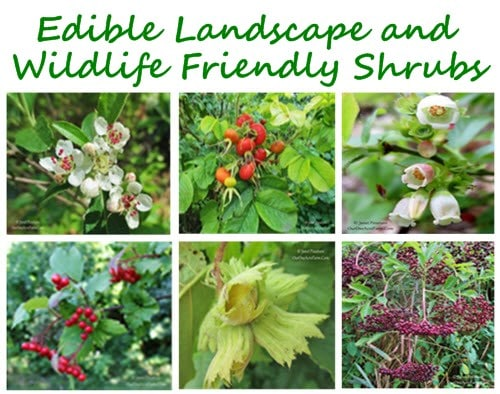 10 Shrubs For A Wildlife Friendly And Edible Landscape