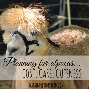 Planning For Alpacas On Your Homestead