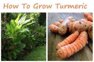 How To Grow Turmeric Tutorial