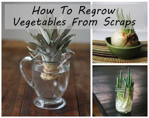 Regrow Vegetables From Scraps Guide