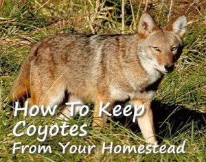 Keep Coyotes Away From Your Homestead