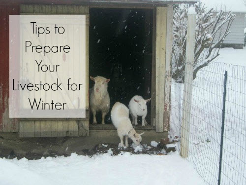 Tips For Preparing Livestock For Winter