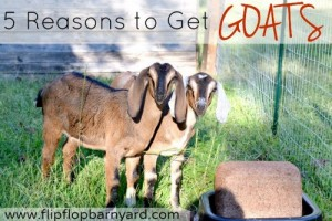 5-reasons-to-get-goats