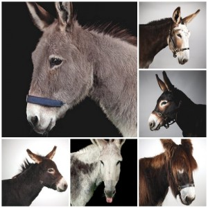 Choosing A Donkey For Your Homestead