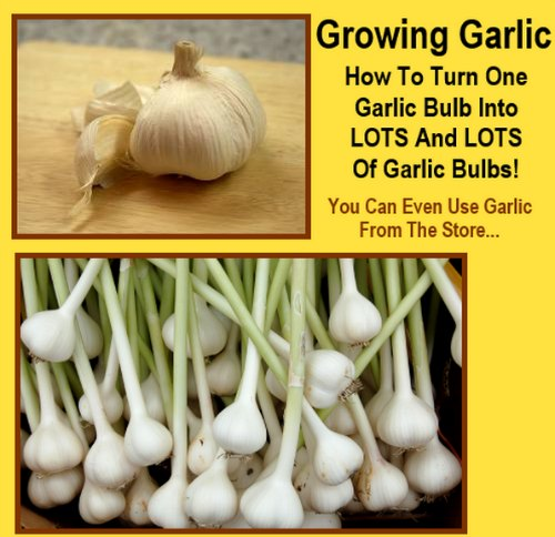 garlic-bulbs-from-one-bulb