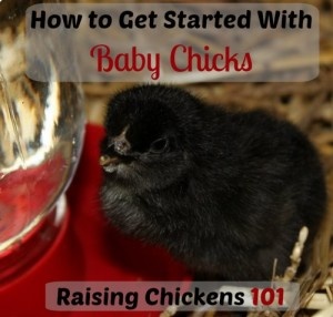 How To Get Started With Baby Chicks