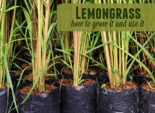 grow-and-use-lemongrass
