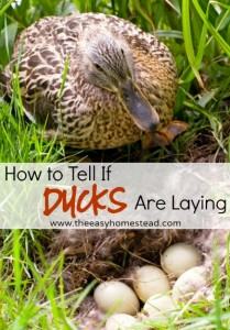 How To Tell If Ducks Are Laying Guide