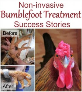 Non Invasive Bumblefoot Treatment And Success Stories