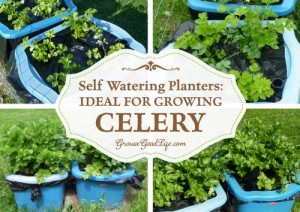 Self-Watering Planters For Growing Celery