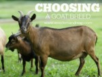 Choosing A Goat Breed