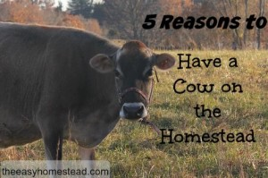 5 Reasons To Have A Cow On The Homestead