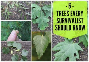 Wilderness Survival | 6 Trees Every Survivalist Should Know And Why