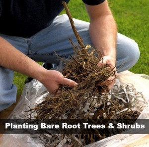 Planting Bare Root Trees And Shrubs