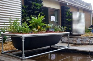 bathtub-aquaponic-system