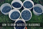 How To Grow Buckets Of Blueberries At Home